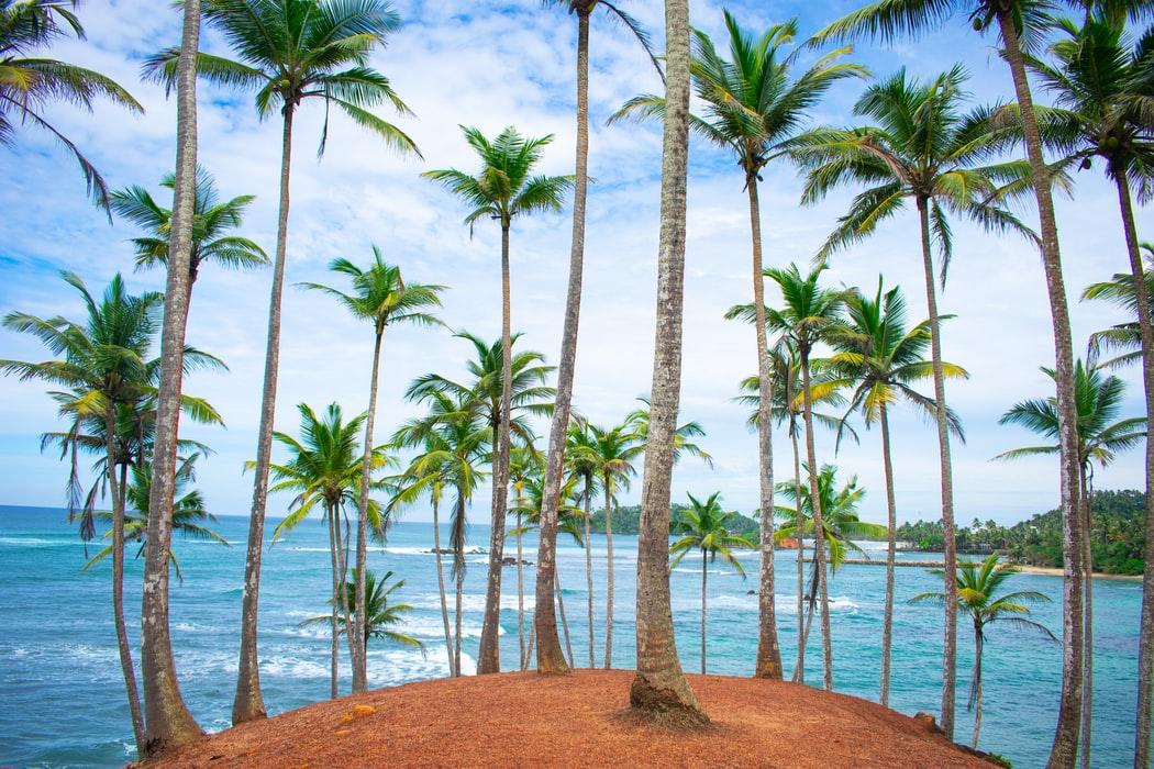 srilanka palm